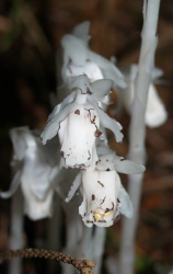 indian pipe at PCC Sylvania